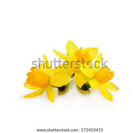 beautiful yellow daffodils isolated on white background - stock photo