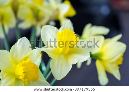 Beautiful Yellow Daffodils, Spring, Easter, Close-up - stock photo