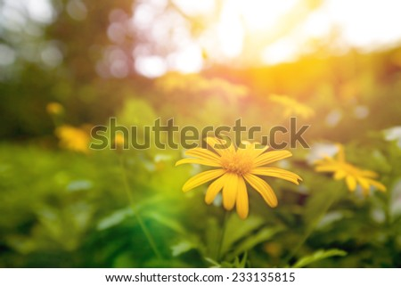 Beautiful yellow daisy blossom in the garden in early sunrise - stock photo