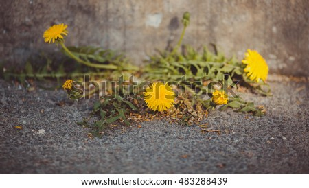 beautiful yellow dandelions growing in the cracks of concrete