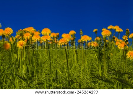 Beautiful yellow dandelions on a background of blue sky - stock photo
