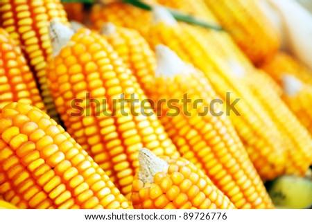 Beautiful yellow ear of corn - stock photo
