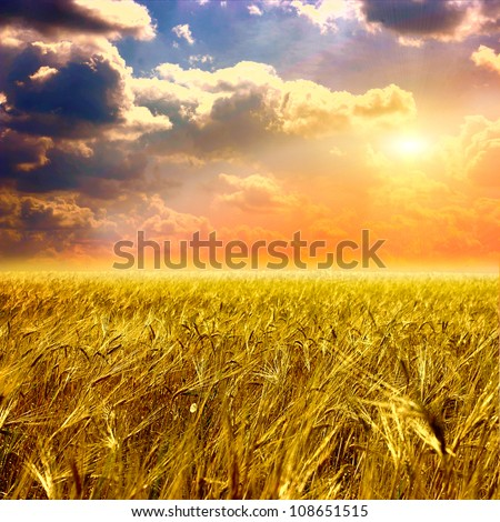 Beautiful yellow field and clouds sky - stock photo
