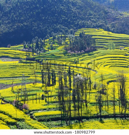 Beautiful yellow field full of rapeseed in Luoping at Yunnan of China - stock photo