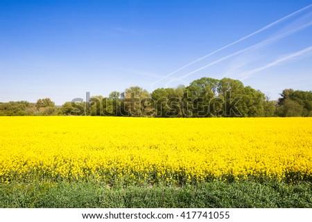 Beautiful yellow field with deep blue sky - stock photo
