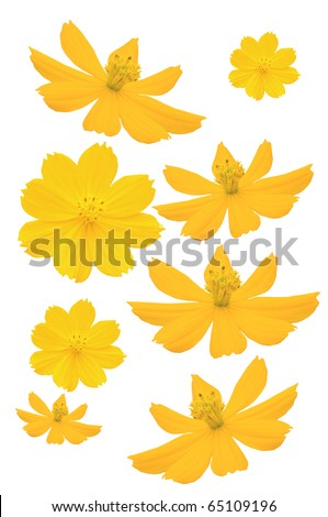 Beautiful yellow flower (Cosmos)  isolated on white background - stock photo