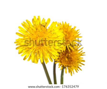 beautiful yellow flower of Dandelion isolated on white background
