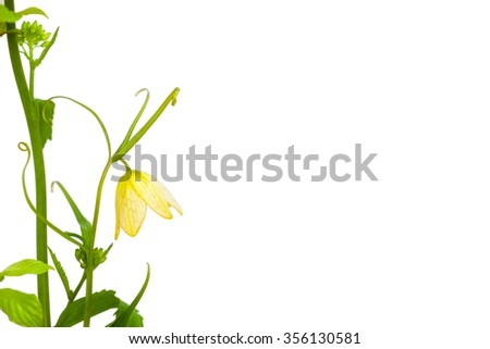 beautiful yellow flower with green leaf and curve branch on white background - stock photo