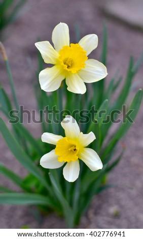 Beautiful yellow flowers, beautiful yellow daffodils, beautiful white daffodils - stock photo