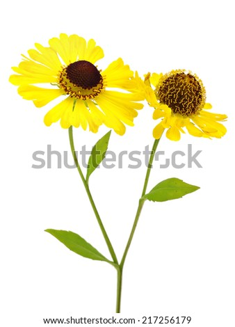 Beautiful yellow flowers (Helenium) on a white background