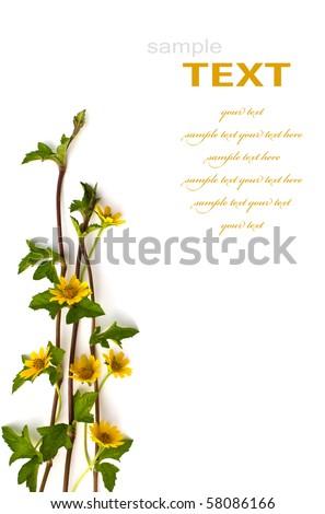 Beautiful yellow flowers isolated on white background - stock photo