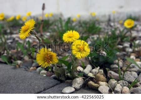 beautiful yellow flowers of Tussilago farfara (coltsfoot) foreground closeup on a rocky lawn near the sidewalk - stock photo