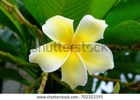 Beautiful yellow flowers With green leaf bush.Beautiful white and yellow flowers in a bouquet of green leaves.White and yellow frangipani flowers with green background.
