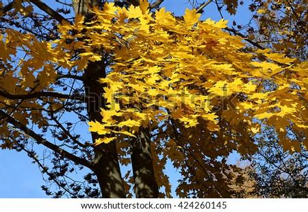 Beautiful yellow foliage of autumn maple - stock photo