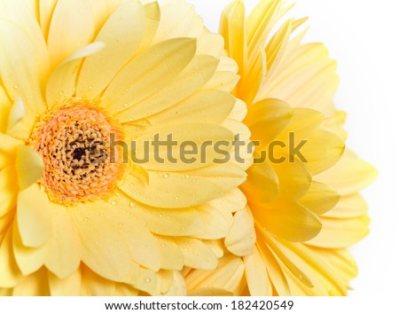 Beautiful yellow gerbera flower