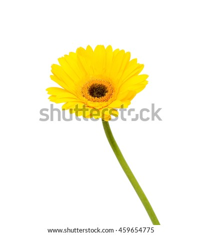 beautiful yellow gerbera flower isolated on white background - stock photo