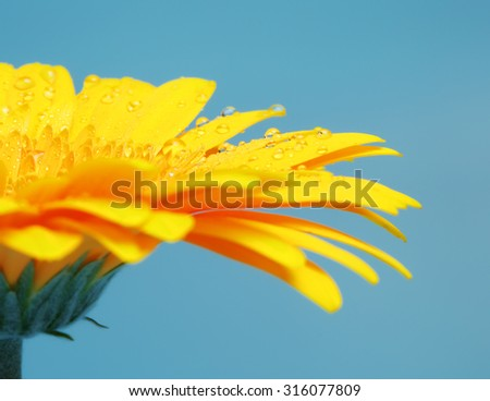 beautiful yellow gerbera flower petals on blue background - stock photo