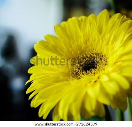 Beautiful yellow gerbera flower. Soft selective focus and shallow depth of field - stock photo
