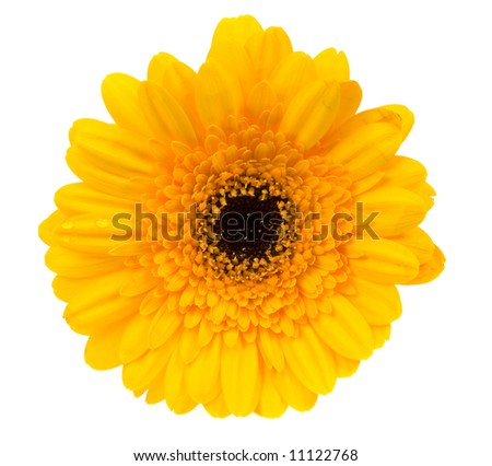 beautiful yellow gerbera isolated on a white background