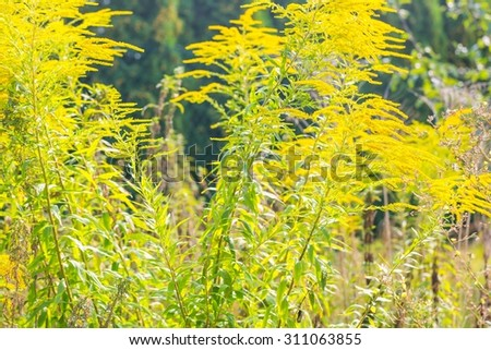 Beautiful yellow goldenrod flowers blooming. Beautiful flowers of autumn. - stock photo