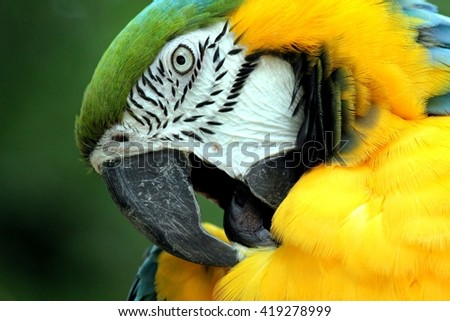 Beautiful yellow, green and white parrot itching with his beak