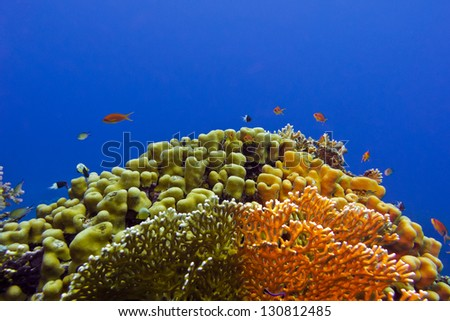 beautiful yellow hard coral and exotic fishes anthias at the bottom of tropical sea - stock photo