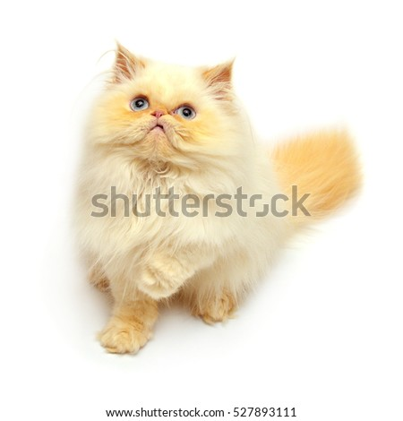 Beautiful yellow kitten isolated on white background. Persian cat. Creative