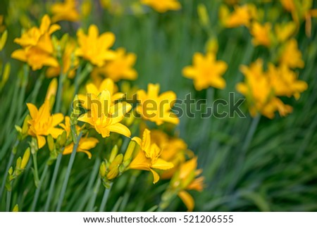 Beautiful yellow lilies in garden