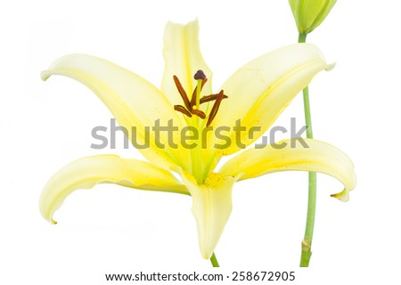 Beautiful yellow lilies on a white background - stock photo