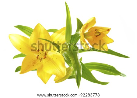 beautiful yellow lilies with green leaves - stock photo