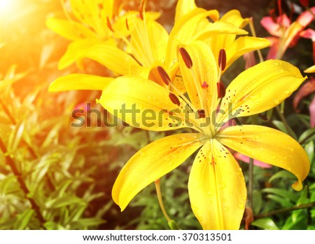 Beautiful yellow lilies with raindrops on petals - stock photo