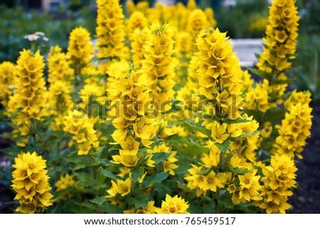 Beautiful yellow loosestrife flower on background stock photo edit beautiful yellow loosestrife flower on background of grass in the garden lysimachia punctata mightylinksfo