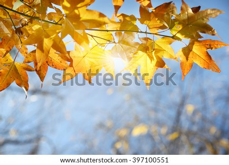 Beautiful yellow maple trees close-up over blue sky - stock photo