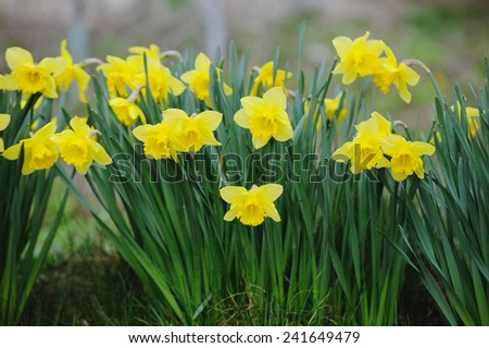 Beautiful yellow narcissus in spring garden - stock photo