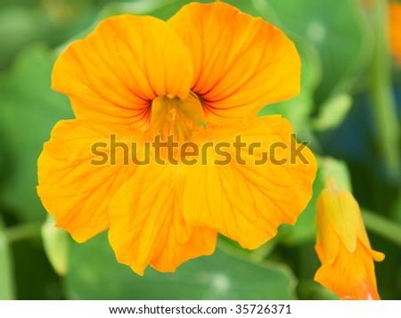 beautiful yellow nasturtium on the flowerbed, macro - stock photo