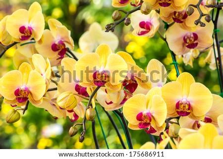Beautiful yellow orchid flowers closeup - stock photo