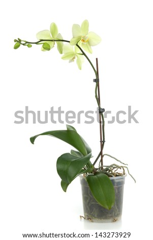 Beautiful yellow orchid in flower - pot on white background - stock photo