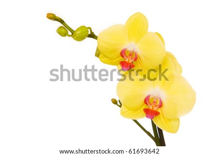 Beautiful yellow orchid on white background - stock photo