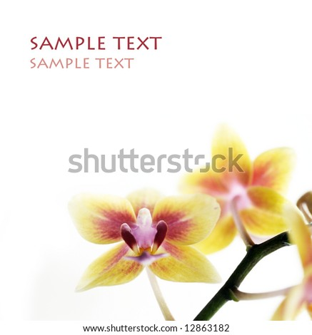 beautiful yellow orchids against white background - stock photo
