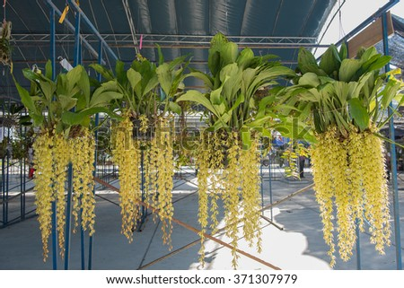 Beautiful yellow orchids flower tree (Coelogyne rochussenii) on the farm. - stock photo