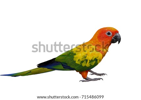 Beautiful yellow parrot bird from head to tail and claws isolated on white background, Sun Conure Parakeet (Aratinga solstitialis)