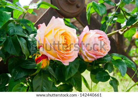Beautiful yellow pink roses in a garden. selective focus,  shallow dof - stock photo
