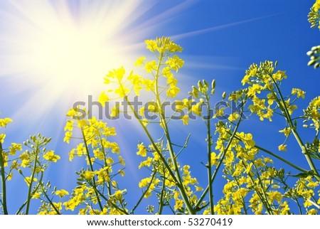 beautiful yellow rapeseed flowers in a rays of sun - stock photo