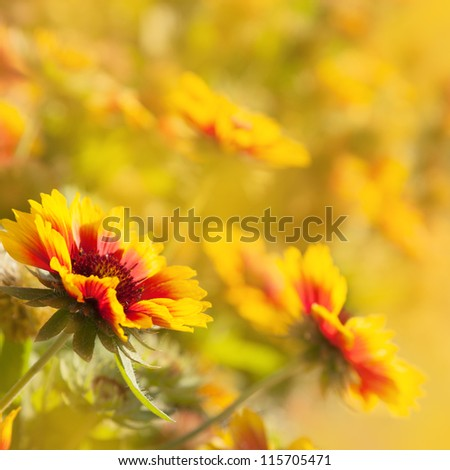 Beautiful yellow red flowers (Gaillardia hybrida) illuminated by the sun - stock photo