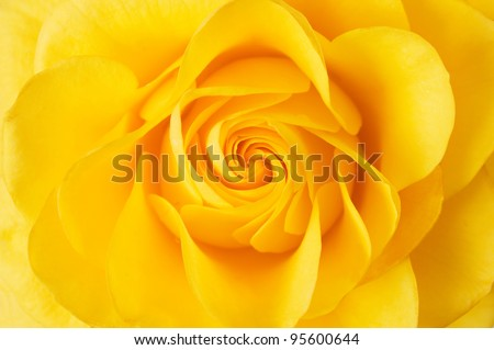 Beautiful yellow rose closeup - stock photo