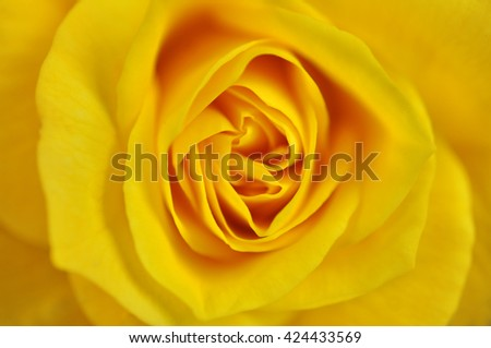 Beautiful yellow rose flower such as background
