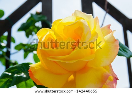 Beautiful yellow rose in a garden. selective focus,  shallow dof - stock photo