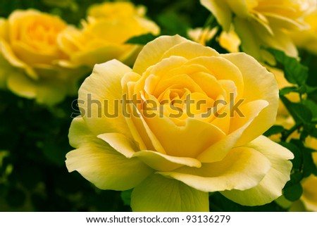 Beautiful yellow rose in a garden. Shallow DOF - stock photo