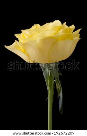 Beautiful yellow rose on a black background - stock photo