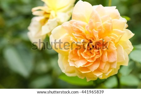 Beautiful yellow rose with blur nature background, beautiful rose in garden  - stock photo